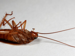 german roaches and bed bugs
