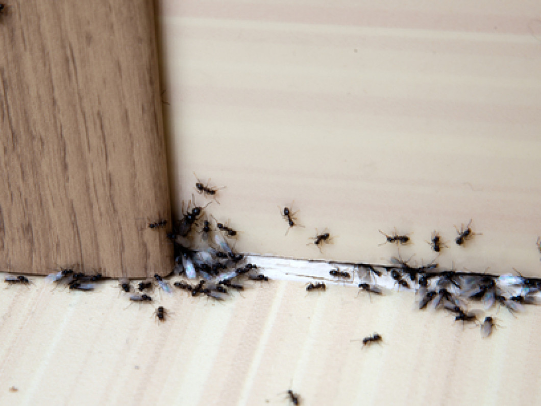 ants invading a home